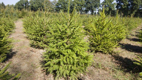 Kerstboom Kwekerij Vije Enschede | Fijnspar