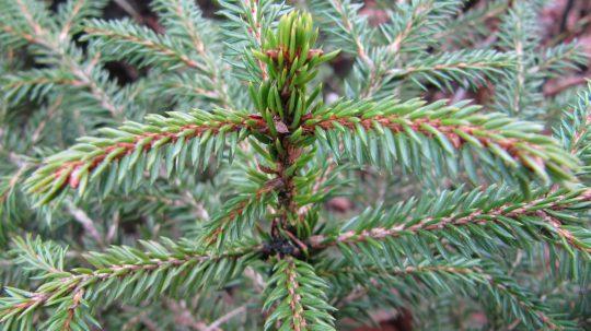 Kerstboomkwekerij Gebr. Vije Enschede fijnspar