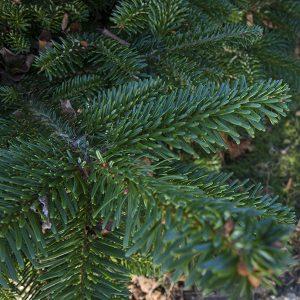 Kerstboom Kwekerij Vije Enschede | Nordmanspar