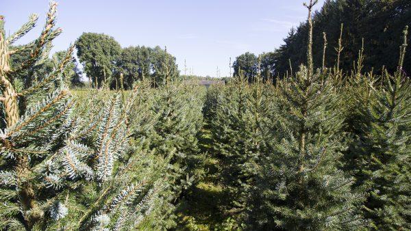 Kerstboom Kwekerij Vije Enschede | Servische Spar